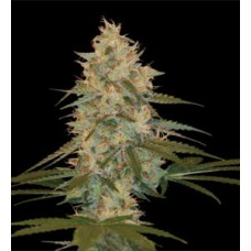 Auto Chocolope Feminised Silver