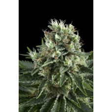 Auto White Widow Feminised Silver