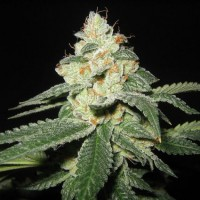 Auto Big White Shark Feminised Gold