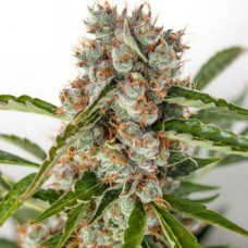 Auto Orange Bud Feminised Gold