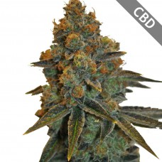 Auto CBD New York Diesel Feminised Gold