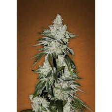 Girls Scout Cookies Feminised Gold